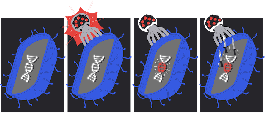 A bacterium has DNA; when it gets attacked by a virus, the bacterium takes some time to recognize it. Once that happens, the bacterium incorporates a section of the virus's genome into its own. Soon, the bacterium uses this to fight off the virus.